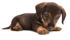 Dachshund Imagens de Stock Royalty Free