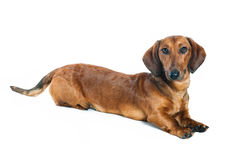 Dachshund. Against a white background Royalty Free Stock Photos