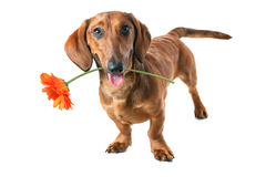 Dachshund. Holding a flower in its mouth Royalty Free Stock Photo