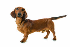Dachshund. Against a white background Stock Image