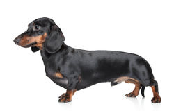 белизна dachshund предпосылки Стоковые Изображения RF
