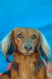 Dachshund. A beautiful brown Miniature Long Haired Dachshund dog head portrait with cute expression in the face watching other dogs Stock Photography