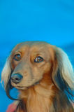 Dachshund. A beautiful Miniature Long Haired Dachshund dog head portrait with sceptical expression in the face watching other dogs Royalty Free Stock Images