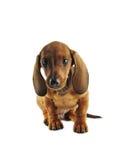 dachshund εγκαθιστώντας Στοκ Εικόνες