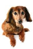 dachshund Στοκ φωτογραφίες με δικαίωμα ελεύθερης χρήσης