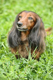 Dachshund. Portrait of Red Long-Haired Dachshund on the Grass Stock Image