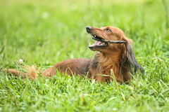 Dachshund. Portrait of Red Long-Haired Dachshund on the Grass Stock Photo
