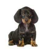 Dachshund. In front of white background Stock Photo