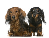 Dachshund, 3 and 2 years old, lying Stock Image