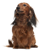 Dachshund, 3 years old, sitting stock photography