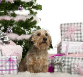 Dachshund, 3 years old, sitting with Christmas Stock Photos