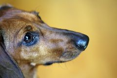 Dachshund Royalty Free Stock Photography