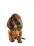 dachshund Стоковое Изображение RF