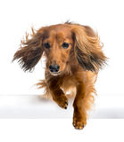 Dachshund, 4 years old, jumping over white tube Royalty Free Stock Photography