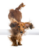 Dachshund, 4 years old, jumping over white tube Royalty Free Stock Photo