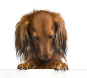 Dachshund, 4 years old, leaning on a white plank Stock Photography