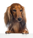 Dachshund, 4 years old, leaning on a white plank Royalty Free Stock Photography