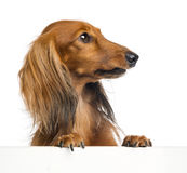 Dachshund, 4 years old, leaning on a white plank Stock Images