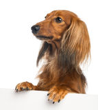 Dachshund, 4 years old, leaning on a white plank Stock Image
