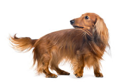 Dachshund, 4 years old, looking back Royalty Free Stock Photo
