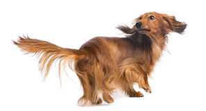 Dachshund, 4 years old, looking back Stock Image