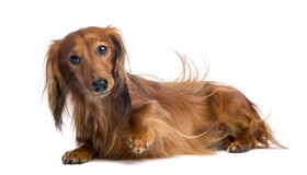 Dachshund, 4 years old, lying Stock Image