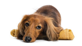 Dachshund, 4 years old, lying on bone Royalty Free Stock Images