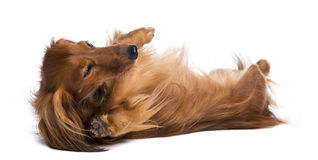 Dachshund, 4 years old, lying on its back Royalty Free Stock Images