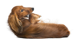 Dachshund, 4 years old, lying on its back Stock Images
