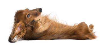 Dachshund, 4 years old, lying on its back Stock Image