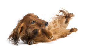 Dachshund, 4 years old, rolling over Stock Photo