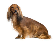 Dachshund, 4 years old, sitting and looking away Stock Photography