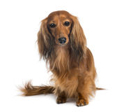 Dachshund, 4 years old, sitting and looking at camera Royalty Free Stock Photo