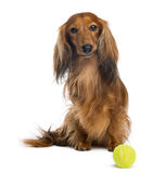 Dachshund, 4 years old, sitting with a tennis ball in front of him Royalty Free Stock Photography