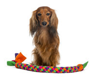 Dachshund, 4 years old, sitting with a tennis ball in front of him Royalty Free Stock Image