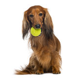 Dachshund, 4 years old, sitting with tennis ball in mouth Royalty Free Stock Image