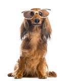 Dachshund, 4 years old, sitting, wearing glasses Royalty Free Stock Photography