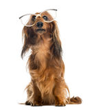 Dachshund, 4 years old, sitting, wearing glasses Royalty Free Stock Photo