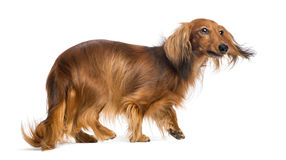 Dachshund, 4 years old, walking Royalty Free Stock Photos