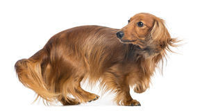 Dachshund, 4 years old, walking and looking back. Against white background Royalty Free Stock Images