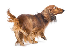 Dachshund, 4 years old, walking and looking up. Against white background Royalty Free Stock Photo