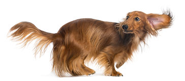 Dachshund, 4 years old, walking and looking up. Against white background Royalty Free Stock Photos