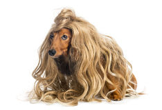 Dachshund, 4 years old, wearing a blond wig. Against white background Stock Photo