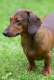dachshund Stockbilder