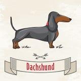 dachshund Stock Fotografie