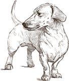 dachshund Photographie stock