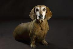 dachshund Fotografía de archivo libre de regalías