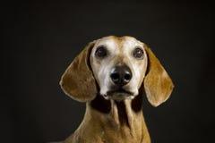 dachshund Imagens de Stock