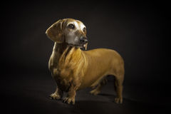 dachshund royalty-vrije stock afbeelding