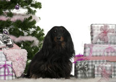 Dachshund, 5 years old, sitting with Christmas Royalty Free Stock Images